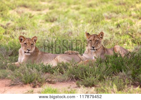 Two Young Lionesses At Kgalagadi National Park