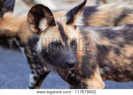 Wild Dog Close-up Kruger