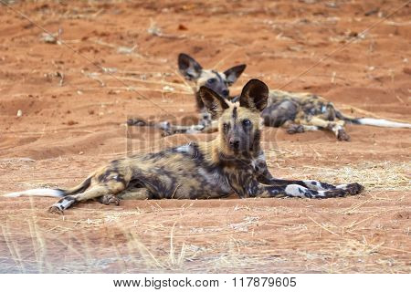 Wild Dogs Having Rest At Chobe