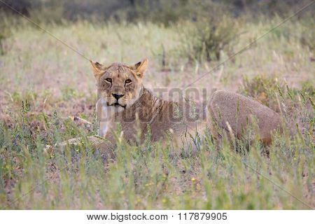 Young Lioness At Kgalagadi