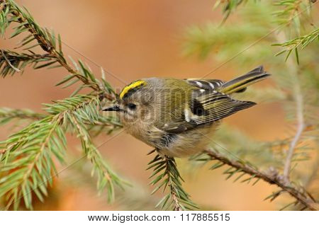 Bright Goldcrest At Firtree