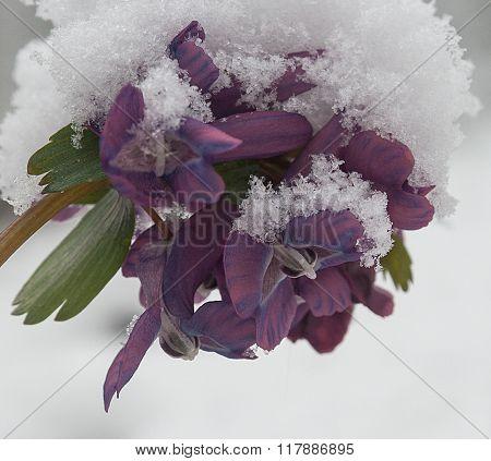 Corydalis Flower Powdered With  Snowflakes
