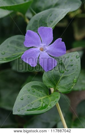 Periwinkle Among Green Leaves