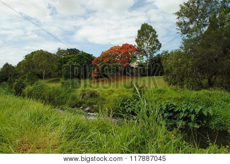 Flowering Royal Poinciana tree in Brisbane, Australia