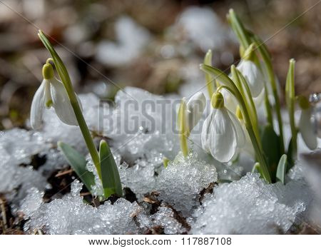Snowdrops Among Ice