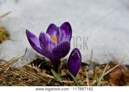 Violet Crocuses At The Snow Edge