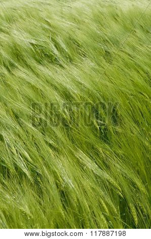 Wheat-land As Vertical Background