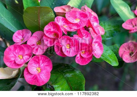 Colorful Euphorbia Milii