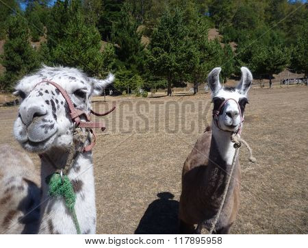 Two Llamas On A Dry Grass