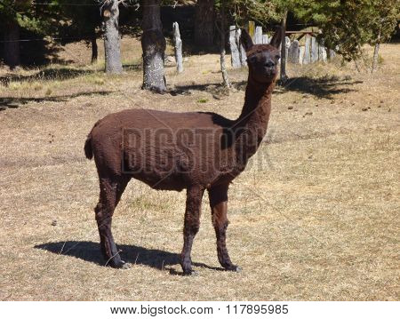 Small Cute Brown Alpaca With Curious Look