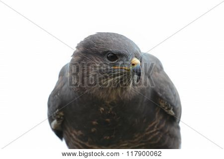 The black kite Milvus migrans bird of prey