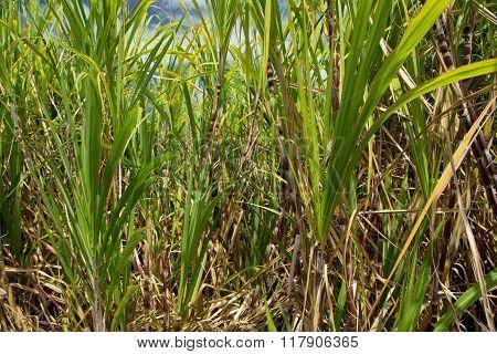 Sugarcane plants grow at farmland