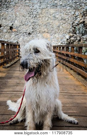 Portrait Of Beautiful Irish Wolfhound Dog, Irish Wolfhound Sitting On The Bridge In Castle, Wolfhoun