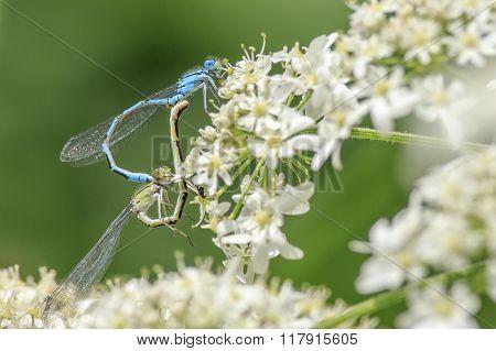 A pair of Blue Damselflies mating on a flower