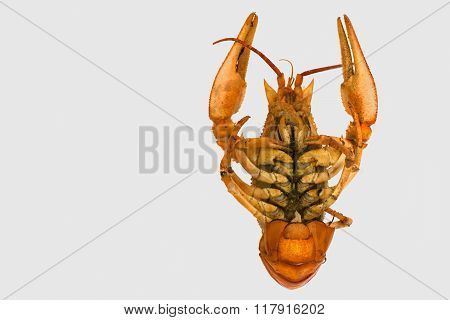 isolate arthropods crustaceans cancer