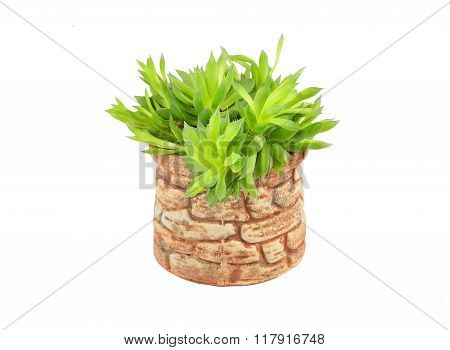 Succulent Plant In Ceramic Pot