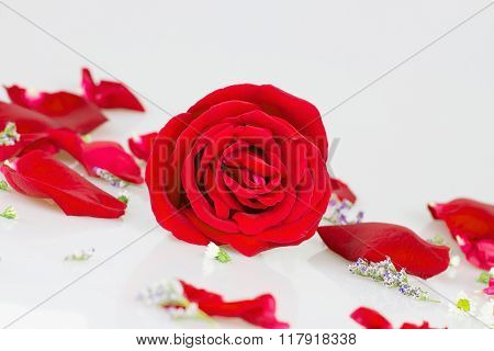Red Rose With White Rose Petals