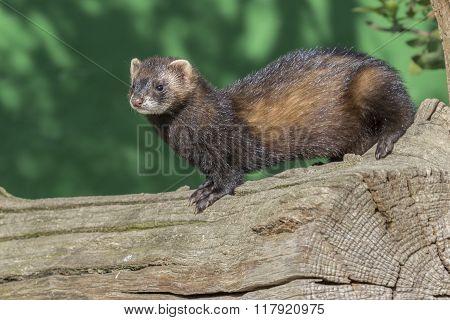 Polecat (mustela Putorius)