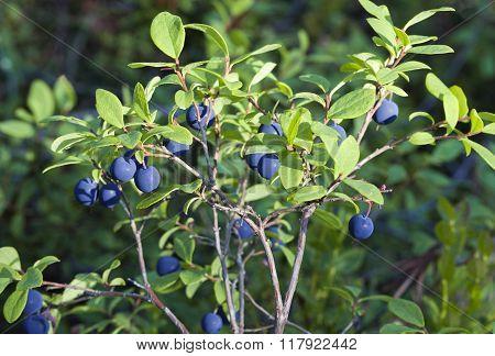 Blueberry bush, close-up