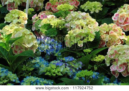Hortensia Flowers Background