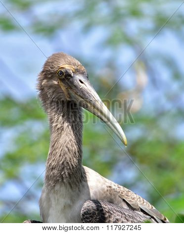 Immature Painted Stork