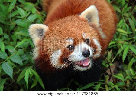 Firefox, The Red Panda In Chengdu, China