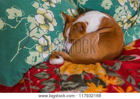 Basenji dog sleeping in favorite pose on a sofa