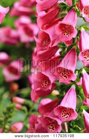 Digitalis Flowers Background
