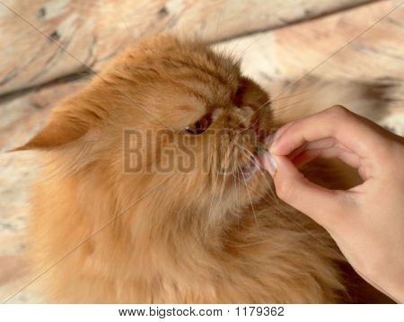 Cat Eating A Delicacy