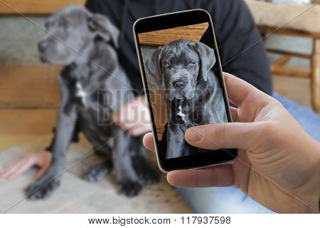 Taking Picture Of Italian Cane Corso Dog