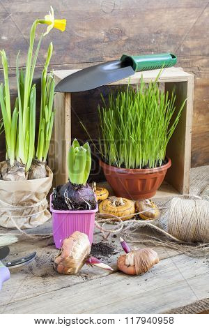 Gardening tools, greens in pots, tubers (bulbs) gladiolus, hyacinth and yellow narcissus on dark woo