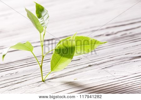 Young Sprout Grows Through A Crack In White Boards
