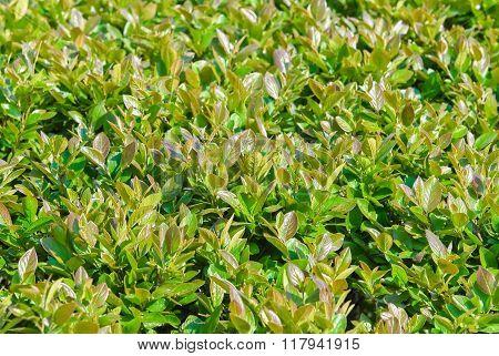 Trimmed shrub, Aronia melanocarpa spring