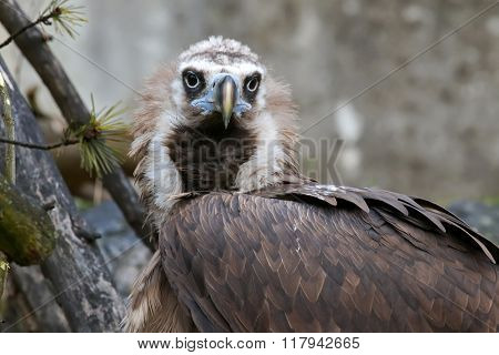 Closeup headshot of the Cinereous vulture raptorial bird, black vulture, (Aegypius monachus). A large bird of prey.