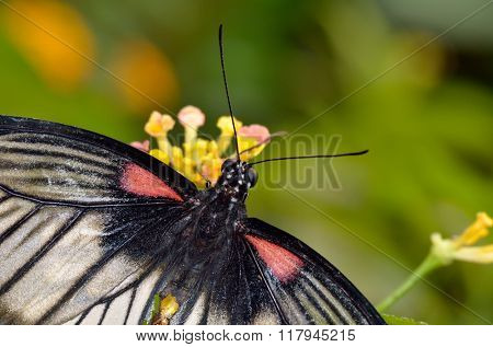 exotic butterfly in natural habitat (papilio memnon agenor)