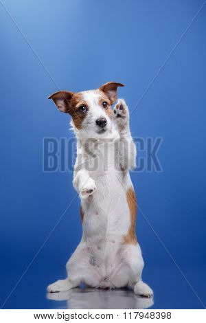 Dog Jack Russell Terrier On A Blue Background