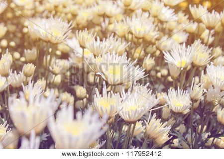 White Chrysanthemum In Garden Pastel Color Tone Style