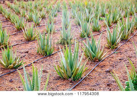 Aloe Vera field at Canary Islands of Spain
