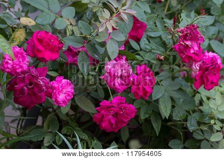 field of red roses (rosaceae)
