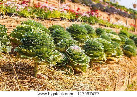 ornamental leaved Kale