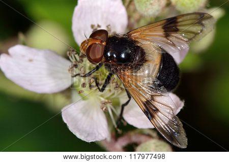 Pellucid fly (Volucella pellucens)