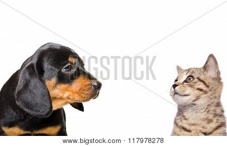Portrait of Scottish Straight kitten and puppy breed Slovakian Hound