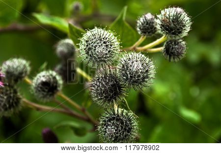Thorns Burdock Herb View From Above Nature Background
