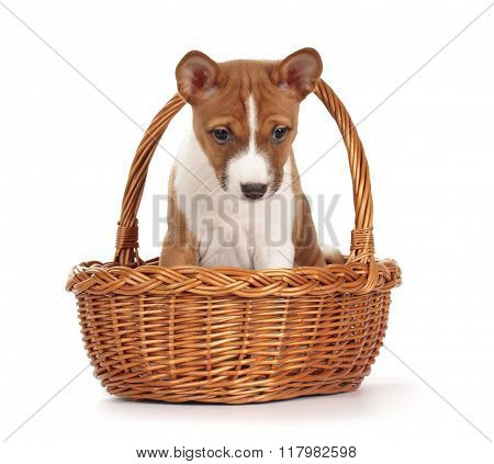 Adorable Basenji Puppy