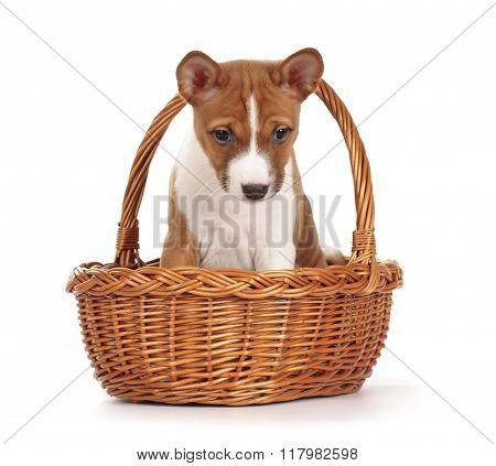Adorable Basenji Puppy