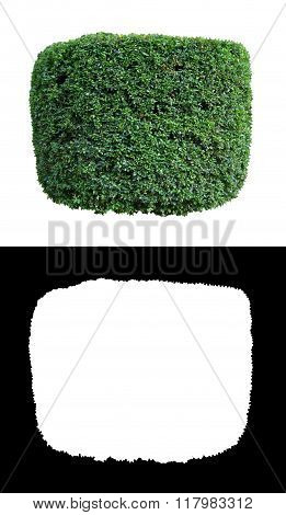 Decorative evergreen bush 1