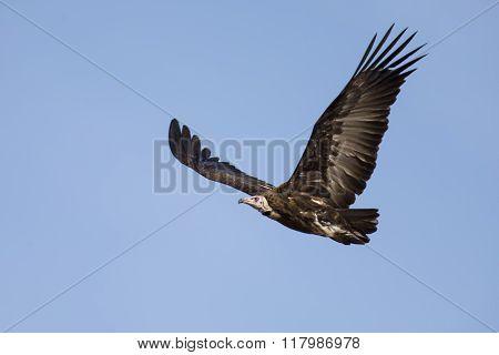 Hooded Vulture Soar In Blue Sky Looking For Food