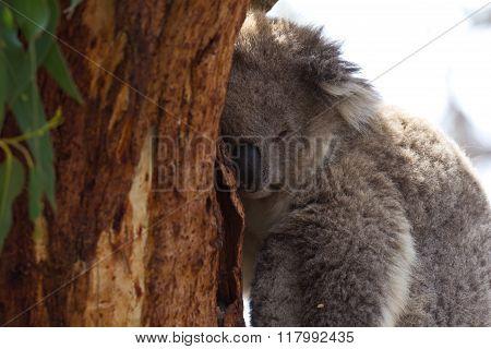 Koala In A Koala Conservation Park