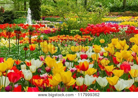 tulips flowerbeds at spring