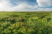Постер, плакат: Blooming Wild Peonies In Steppe